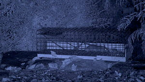 Juvenile Brown rat (Rattus norvegicus) entering live trap and escaping, filmed at night using an infra red camera, Carmarthenshire, Wales, UK, November.  -  Dave Bevan