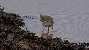 Redshank (Tringa totanus) foraging amongst seaweed and catching a small crab and running out of frame Carmarthenshire, Wales, UK  -  Dave Bevan