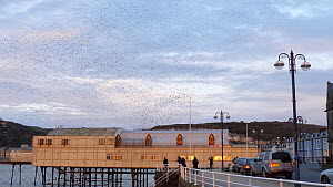 Murmuration of Common starling (Sternus vulgaris) diving under pier to roost, Aberystwyth, Ceredigion, Wales, UK, December. - Dave Bevan