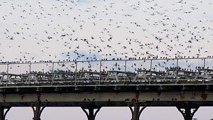 Flock of Common starlings (Sternus vulgaris) gathering on a pier as they prepare to roost, Ceredigion, Wales, UK, December. - Dave Bevan