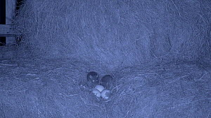 Juvenile Brown rats (Rattus norvegicus) raiding a chicken nest in a barn, filmed at night using an infra red camera, Carmarthenshire, Wales, UK, December. - Dave Bevan