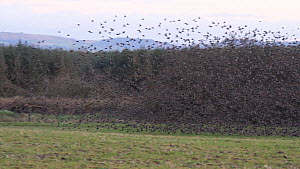 Common Starlings (Sternus vulgaris) gathering on ground before flying into roost Ceredigion, Wales, UK, December.  -  Dave Bevan