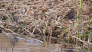 Small group of Common snipe (Gallinago gallinago) feeding and resting at edge of reedbed, Ceredigion, Wales, UK, December.  -  Dave Bevan