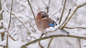 Jay (Garrulus glandarius) perching on a snow covered tree in a snow storm, Carmarthenshire, Wales, UK, December.  -  Dave Bevan