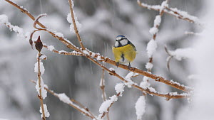 Blue tit (Cyanistes caeruleus) perching on a snow covered branch during snow storm, flies out of frame, Carmarthenshire, Wales, UK, December.  -  Dave Bevan