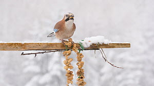Jay (Garrulus glandarius) feeding from a peanut string during a snow storm, Carmarthenshire, Wales, UK, December.  -  Dave Bevan