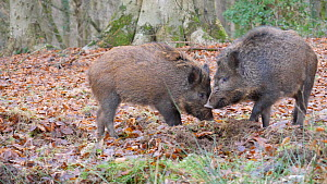 Juvenile male Wild boar (Sus scrofa) fighting to establish seniority, Gloucestershire, England, UK, December.  -  Dave Bevan