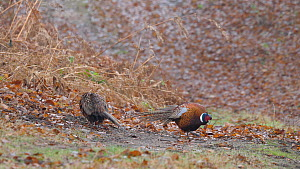 Male Common pheasant (Phasianus colchicus) fanning tail, displaying to another male to indicate dominance, Suffolk, England, UK, December. - Dave Bevan
