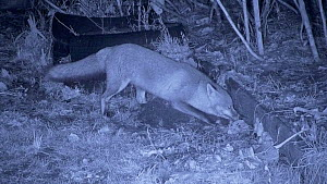 Red fox (Vulpes vulpes) digging out a mouse nest from under a raised bed, filmed at night using an infra red camera, Carmarthenshire, Wales, UK, January. - Dave Bevan