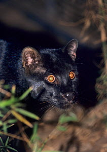 Temminck's or Asian Golden Cat (Pardofelis temmincki)  captive, occurs in Southeast Asia.. Black phase, Forestry Department Wildlife Rescue Centre, Thailand.  -  Terry  Whittaker