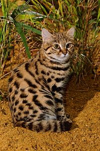 Black-footed cat (Felis nigripes)  captive, occurs in Southern Africa., Port Lympne Wild Animal Park, Kent, UK. - Terry  Whittaker