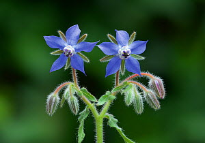 Borage flowers (Borago officinalis) near Nice, south of France, June. - Robert  Thompson