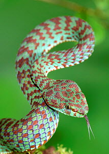 Beautiful pit viper (Trimeresurus venustus) captive occurs in Thailand  -  Robert  Thompson