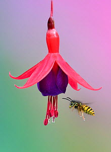 Common wasp (Vespula vulgaris) flying to fuchsia flower,  Banbridge, County Down, Northern Ireland.  -  Robert  Thompson
