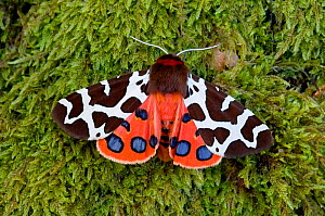 Garden tiger moth (Arctia caja) Killard Point NNR, Ballyhornan, County Down, Northern Ireland.July. - Robert  Thompson