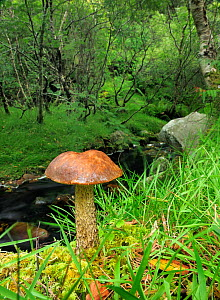 Brown birch bolete (Leccinum scabrum) Crossconnel Clonmany, Inishowen, County Donegal, Ireland. August.  -  Robert  Thompson