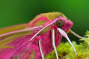 Elephant hawk moth (Deilephila elpenor) portrait, Brackagh Moss National Nature Reserve, Portadown, County Armagh, Northern Ireland. April. - Robert  Thompson