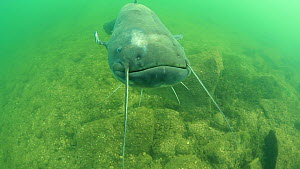 Wels catfish (Silurus glanis) swimming, curious about camera, River Rhone, Rhone-Alpes, France, November.  -  Remi Masson