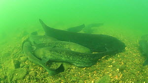 Group of Wels catfish (Silurus glanis) rubbing against each other, with very large individual over two metres long, River Rhone, Rhone-Alpes, France, September.  -  Remi Masson