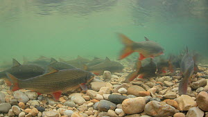 Shoal of Nase (Chondrostoma nasus) spawning, River Ain, Rhone-Alpes, France, April. - Remi Masson