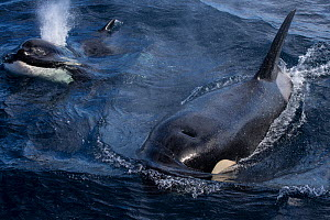 Orca / Killer whales (Orcinus orca) breathing at surface,  'Offshore orca ecotype' off the continental shelf of northeastern New Zealand. Editorial use only.  -  Richard Robinson