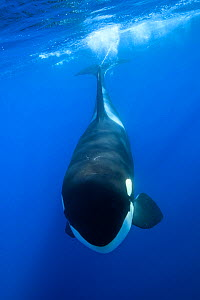 Orca / Killer whales (Orcinus orca) 'Offshore orca ecotype' off the continental shelf of northeastern New Zealand. Editorial use only.  -  Richard Robinson