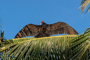 Turkey vulture (Cathartes aura) perched on palm frond with wings outstretched,  Baja California, Mexico - Doc White