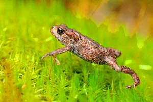 Common Toad (Bufo bufo) juvenile toadlet walking over moss in birchwood in late summer, Inverness-shire, Scotland, September.  -  Laurie  Campbell