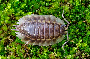Common / Shiny woodlouse (Oniscus asellus) on moss, Berwickshire, Scotland, February. - Laurie  Campbell
