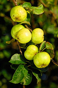 Crab apples (Malus sylvestris) growing in hedgerow, Berwickshire, Scotland, October.  -  Laurie  Campbell