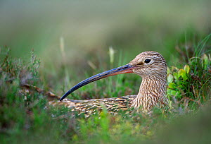 Curlew (Numenius arquata) at nest on heather moorland, Lammermuir Hills, Berwickshire, Scotland, May. - Laurie  Campbell