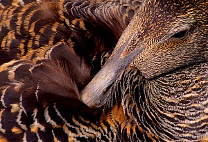Eider (Somateria mollissima) close-up of female preening whilst incubating eggs, Inner Farne, Farne Islands, off North Northumberland Coast, England, May. - Laurie  Campbell