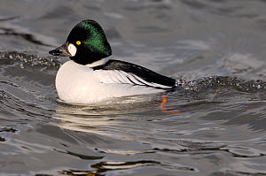 Goldeneye (Bucephala clangula) male bird in river Tweed Estuary, Berwick-upon-Tweed, Northumberalnd, England, February. - Laurie  Campbell