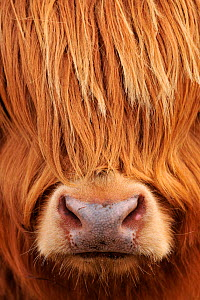 Highland Cow (Bos taurus) close-up, Isle of Mull, Inner Hebrides, Scotland, April. - Laurie  Campbell