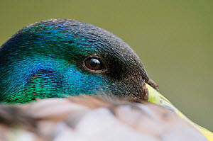 Mallard Duck (Anas platyrhynchos) close up of male, drake at rest on the bank of a canal, Cromford, Derbyshire, England, April.  -  Laurie  Campbell