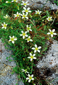 Mossy Saxifrage (Saxifraga hypnoides) Rum National Nature Reserve, Inner Hebrides, Scotland, June.  -  Laurie  Campbell