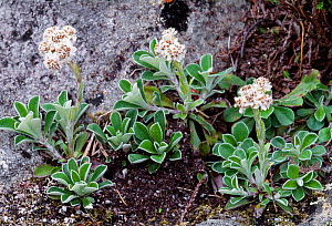 Mountain Everlasting (Antennaria dioica) in flower, Isle of Rum National Nature Reserve, Inner Hebrides, Scotland, June.  -  Laurie  Campbell