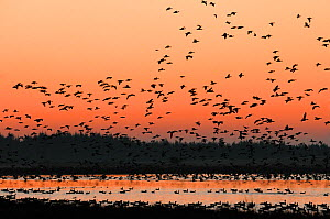 Pinkfooted geese (Anser brachyrhynchus) flock of geese returning to overnight roost on moorland loch at dusk, Scottish Borders, Scotland, October. - Laurie  Campbell