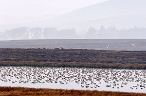 Pinkfooted geese (Anser brachyrhynchus) flock of geese at overnight roost on moorland loch, Scottish Borders, Scotland, October. - Laurie  Campbell