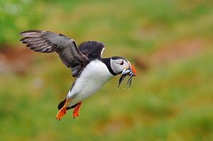 Puffin (Fratercula arctica) bringing sand eels to feed young, Staple Island, Farne Islands, Northumberland, England, June - Laurie  Campbell