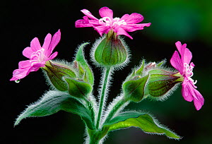 Red Campion (Silene dioica) against shaded background in deciduous woodland, Berwickshire, Scotland, June.  -  Laurie  Campbell