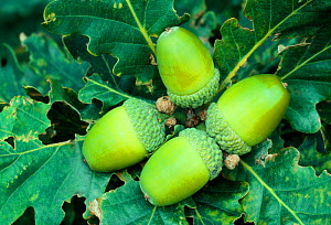 Sessile / Durmast oak (Quercus petraea) acorns in late summer, Ford Moss local nature reserve, Northumberland, August.  -  Laurie  Campbell