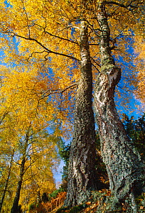 Silver Birch (Betula pendula) in autumn, Craigellachie National Nature Reserve, Speyside, Cairngorms National Park, Scotland, October.  -  Laurie  Campbell