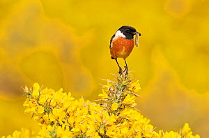 Stonechat (Saxicola torquata) male bird on lookout perch on gorse carrying caterpillar prey to nest, St Abbs Head National Nature Reserve, Berwickshire, Scotland, April. - Laurie  Campbell