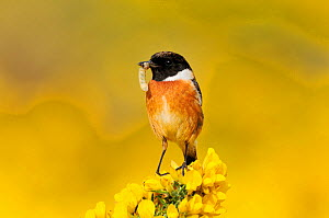 Stonechat (Saxicola torquata) male bird on lookout perch on gorse carrying caterpillar prey to nest, Berwickshire, Scotland, April. - Laurie  Campbell