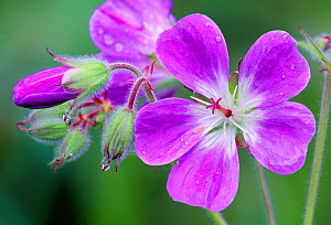 Wood Cranesbill (Geranium sylvaticum) growing on roadside verge by Grantown-on-Spey, Speyside, Cairngorms National Park, Scotland, June. - Laurie  Campbell
