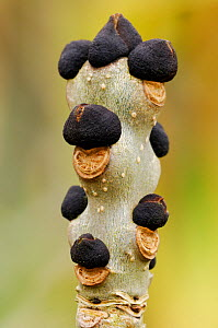 Ash (Fraxinus excelsior) winter buds on twig, Berwickshire, Scotland March - Laurie  Campbell