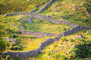 Dry stone walls some dating back to the 1600s   Pared-y-cefn-hir Mountain, Snowdonia National Park, Wales, UK, August. - Phil Savoie