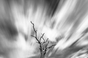 Black and white image of English oak tree (Quercus robur) with long exposure of wind blown clouds, Monmouthshire, Wales, UK,  September 2017.  -  Phil Savoie