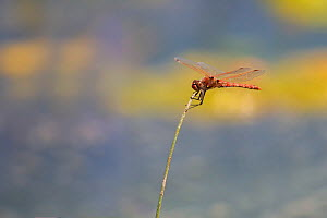 Variegated meadowhawk (Sympetrum corruptum) male resting, Madison River, Montana, USA. June. - Phil Savoie